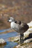 Chick of Giant Coot — Stock Photo