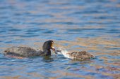 Giant Coot Feeding Chick — Stock Photo