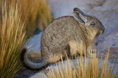 Mountain Viscacha — Stock Photo