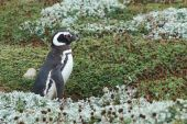 Penguin Colony at Punta Arenas — Stock Photo