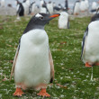 Постер, плакат: Gentoo Penguins