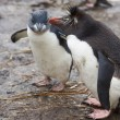 Постер, плакат: Rockhopper Penguins