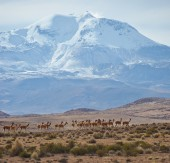 Group of Vicuna on the Altiplano — Stock Photo