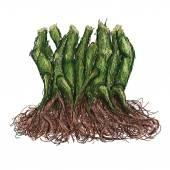 Kava roots — Stock Vector