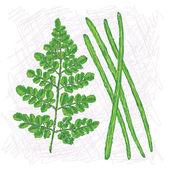 Moringa drumstick — Stock Vector