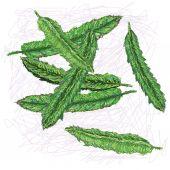 Winged bean — Stock Vector