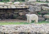 Polar bear watching — Stock Photo