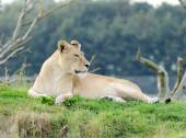 Lioness Looking — Stock Photo