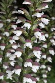 Acanthus Spinosus — Stock Photo