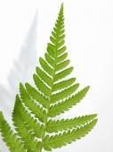 Fern detail ( Dryopteris ) — Stock Photo