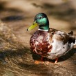 Ente — Stock Photo #52270127