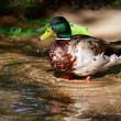 Ente — Stock Photo #52270131