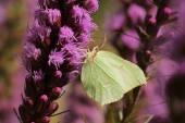 Common brimstone butterfly — Stock Photo