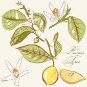 Collection of vector hand drawn lemon tree  flowers and lemons — Vecteur
