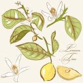Collection of vector hand drawn lemon tree  flowers and lemons — Vector de stock