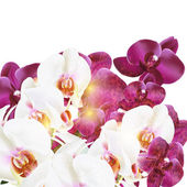 Phalaenopsis vector realistic orchids isolated on white — Stock Vector