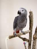 Papoušek šedý — Stock fotografie