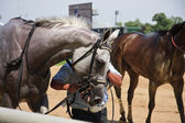 Скаковая лошадь — Стоковое фото