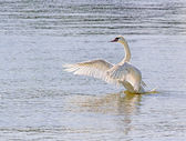 Swan Flapping Wings on Water — Stock Photo