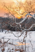 Snowy Sycamore Sunset — Stock Photo