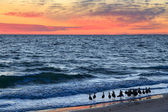 Willets and Sundown Surf — Stock Photo