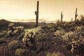 Desert sunset cactus landscape, Arizona,USA — Stock Photo