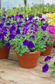 Petunias in greenhouse — Stock Photo