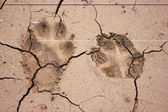 Dogs footprints — Stock Photo
