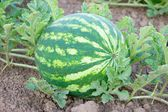 Organic watermelon — Stock Photo