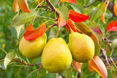 Three pears on tree — Stock Photo