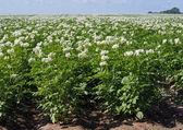 Flowerings plants of potato — Stock Photo