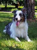 Portrait of border collie dog — Stock Photo