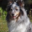 Portrait of Sheltie dog — Stock Photo #57763357