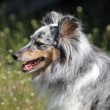 Portrait of Sheltie dog — Stock Photo #57763363