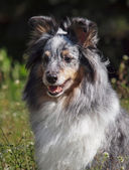 Portrait of Sheltie dog — Stock Photo