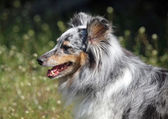 Portrait of Sheltie dog — Stock Photo