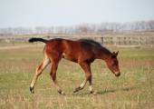 Little pedigree bay foal  on a spring pasture — Stock Photo