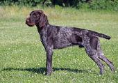 Il giovane cane di razza di drahthaar — Foto Stock