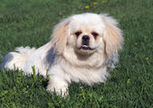Small puppy of breed pekingese on spring lawn — Stock Photo