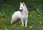 White suisse shepherd on the green meadow — Stock Photo