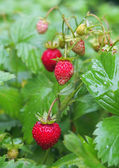 Ripe red fruits of strawberry plant — Stock Photo
