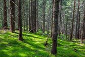 Las sosny — Zdjęcie stockowe