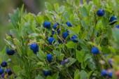 Closeup blackberry bush — Stock Photo