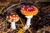 Two red flyagaric mushroom — Stok fotoğraf