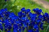 Closeup blue flowers — Stock Photo