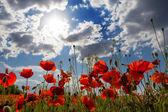 Bellissimo papavero rosso su uno sfondo di cielo blu — Foto Stock