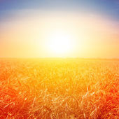 Wheat field at the early morning — Stock Photo