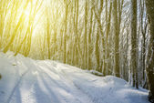 Winter beech forest at the sunny day — Stockfoto