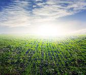 Green fields morning scene — Stock Photo