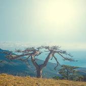Dry pine tree on a mount slope — Zdjęcie stockowe